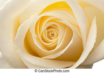 makro, innenseite, roses., weißes, glühen