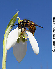 makro - Insect with a snowdrop on a background sky