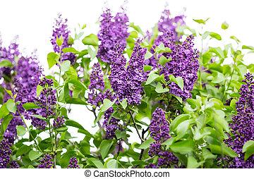 makro, lila, fjäder, avbild, fokusera, Blomstrar, bakgrund, violett, blommig, mjuk, abstrakt
