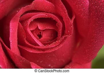 makro, piros rózsa, kivirul