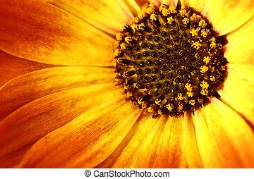 makro, skott, av, apelsin blomma, med, petals, och, pollen