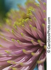 makro, skott, av, krysantemum, indicum, petals, av, anastasia, stjärna, rosa, sortera, in, keukenhof, flowes, nationalparken, in, netherlands.
