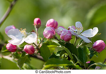 Makro spring apple flowers in a garden