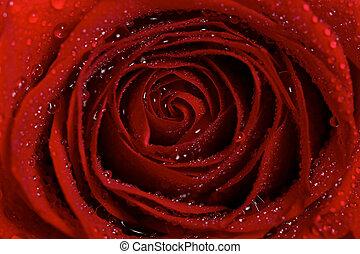 makro, víz, harmat, cseppecskék, piros rózsa