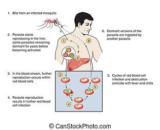 malária, infecção