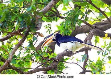 Malabar Pied Hornbill (Anthracoceros coronatus) in Sri Lanka