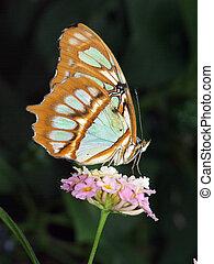 Malachite Butterfly underside - Underside of a Malachite...