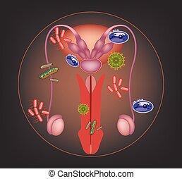 malade, mâle, système, reproducteur