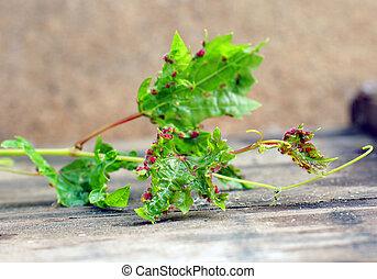 Ou maladie raisin maladie exemple - Maladie du raisin photo ...