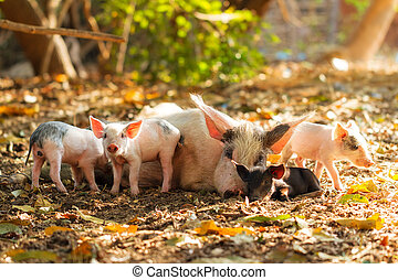Malagasy pig family - A cute pig family (sus scrofa) with...