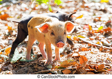 Malagasy piglet - Cute piglets in the morning sun in...