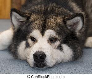 malamute alaska, chien