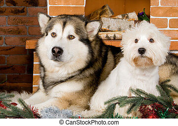 Malamute and west haigland white terrier