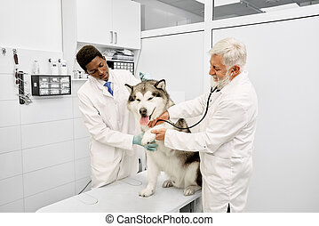 Malamute giving paw to veterinarian while on examination.