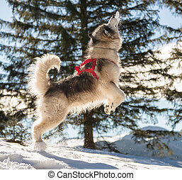 Malamute in winter mountains