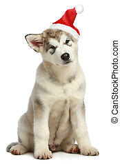 Malamute puppy in Christmas hat on a white background