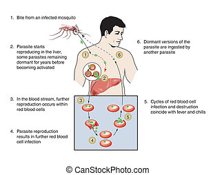 Malaria infection - labeled