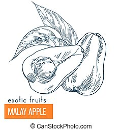 Malay apple. Hand drawn vector illustration