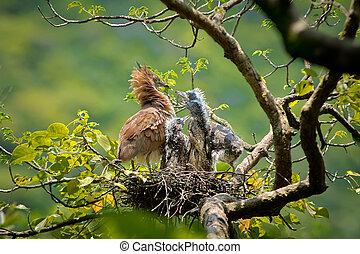 Malay Night Heron the nest brood, Three fledgling,Adult...