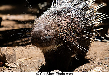 Malayan Porcupine - The different actions of the malayan ...