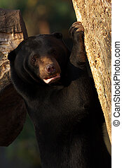 Malayan sun bear climbing in a tree
