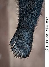Malayan sun bear. - close up of a leg sun bear, (Helarctos ...