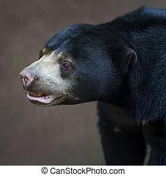 Malayan sun bear. - face at sun Bear (Helarctos malayanus)