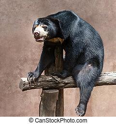 Malayan sun bear. - face at sun Bear (Helarctos malayanus)...