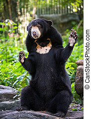 Malayan Sun Bear (Helarctos malayanus) relax in the atmosphere of nature.