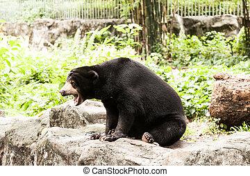Malayan Sun Bear (Helarctos malayanus sit stone, alert and ...