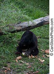 Malayan Sun Bear - Helarctos malayanus