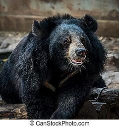 Malayan sun bear. - Malayan sun bear The is focusing on ...