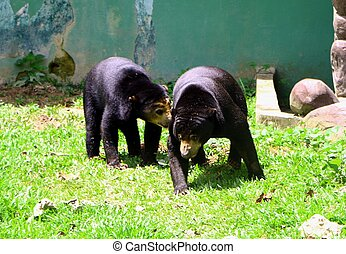 Malayan sun bear or Helarctos malayanus in close up, is a bear species occurring in tropical forest habitats of Southeast Asia.
