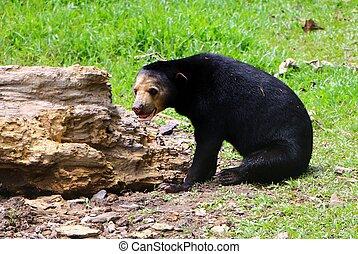 Malayan sun bear or Helarctos malayanus is a bear species ...