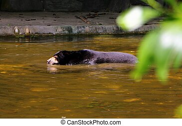 Malayan sun bear or Helarctos malayanus swimming in the water, is a bear species occurring in tropical forest habitats of Southeast Asia.