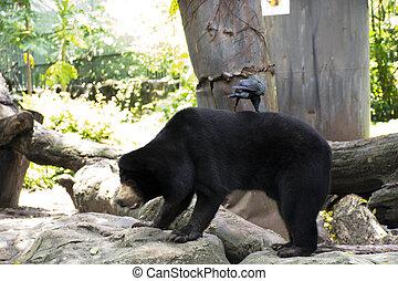 Malayan sun bear or Honey bear walking in cage at public park in Bangkok, Thailand