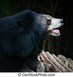 bear. - Malayan sun bear.