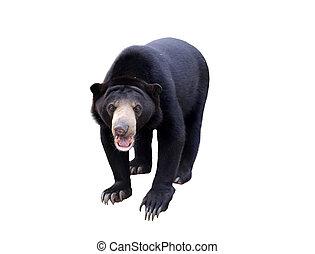 malayan sunbear isolated - malayan sun bear isolated on ...