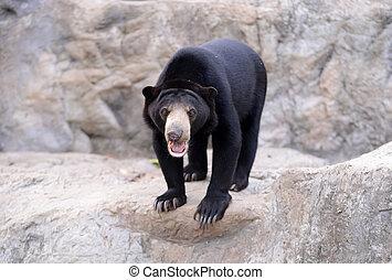malayan sunbear - malayan sun bear stand on the rock