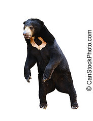 malayan sunbear standing isolated on white background