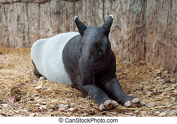Malayan tarpir - Malayan tapirs have very poor eyesight, ...