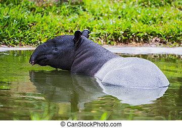 Malayo,  tapir
