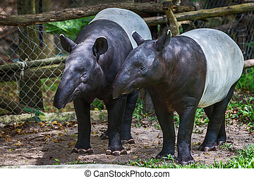 malayo, tapir.