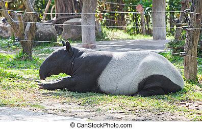 Malayo,  tapir,  indicus),  (tapirus