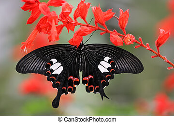 papilio helenus species hanging on a red sage flower, cameron higlands, Malaysia