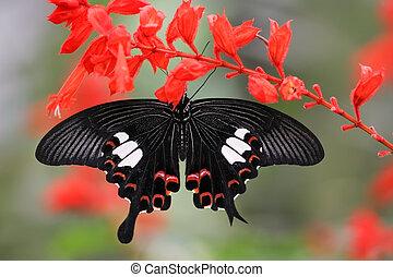 malaysian butterfly (Papilio helenus) - papilio helenus...