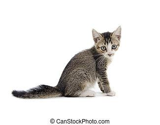 malaysian stray kitten isolated on white