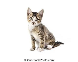 malaysian stray kitten