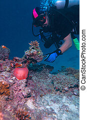 Maldive anemone-fish