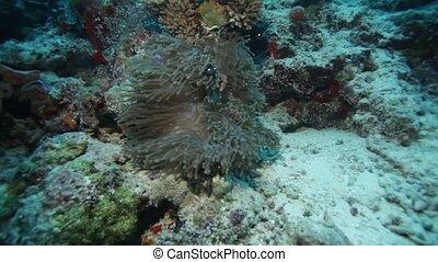 Maldive anemone fish - Maldive anemonefish (Amphiprion...